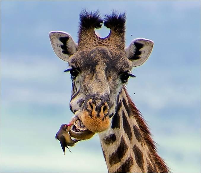 Saps quin és l'animal que té el mateix nombre de dents que els humans?