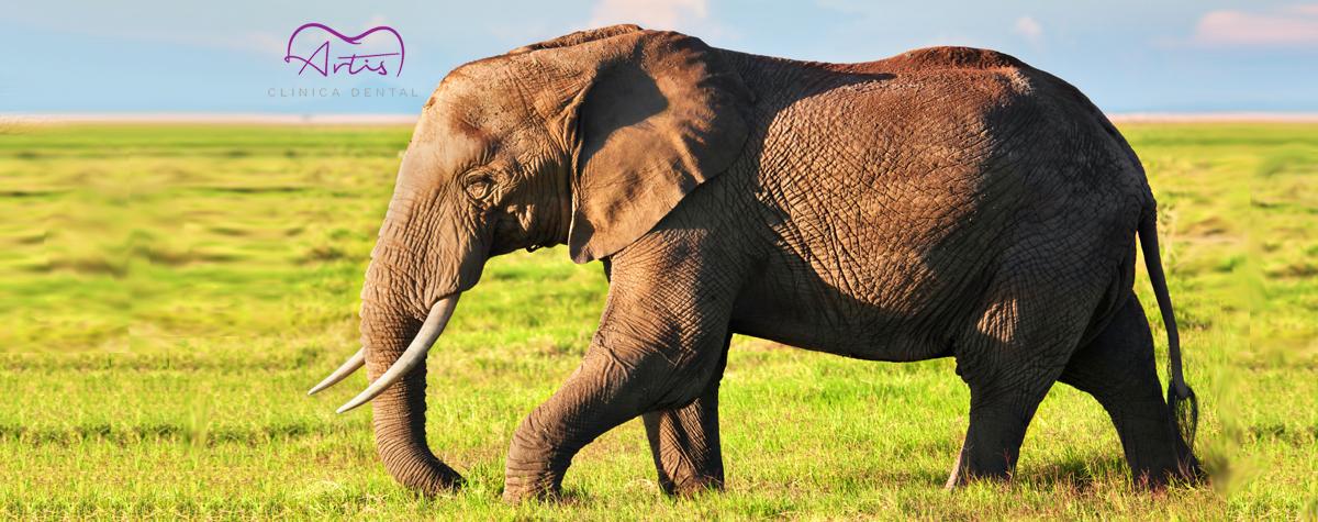 ¿Sabías que los elefantes cambian sus dientes a lo largo de su vida?